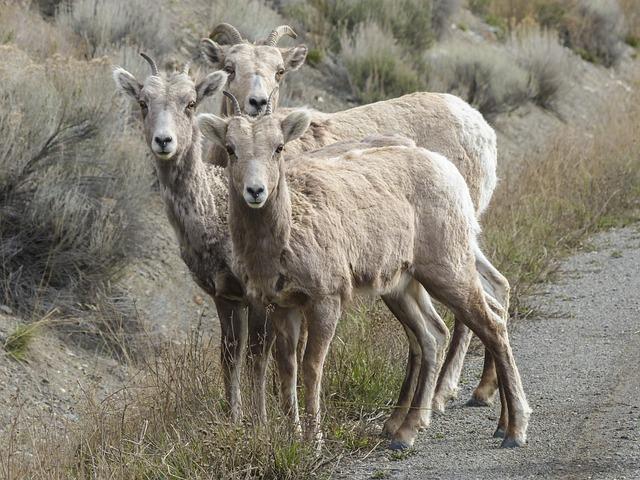 free photo  bighorn sheep  bighorn ram  horns - free image on pixabay