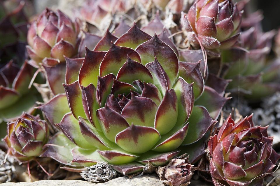 plante grasse rocaille