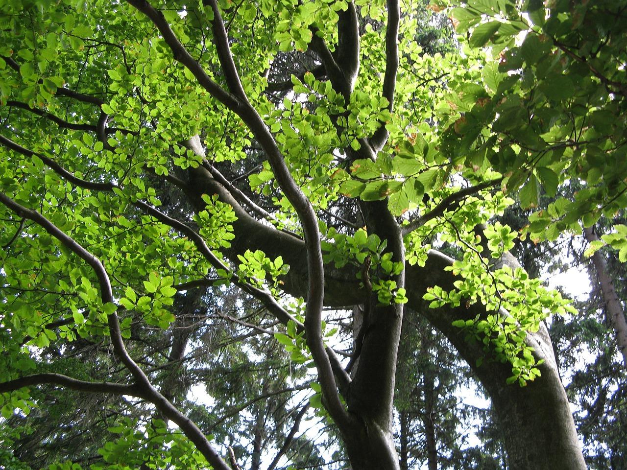 Картинка бука дерево