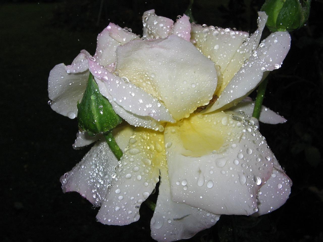 Картинки белая роза на воде