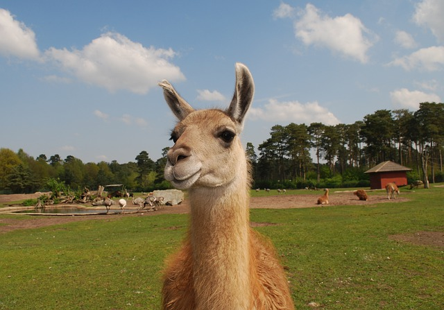 free photo llama lama fur animal wildlife free