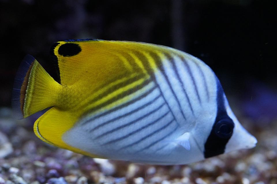 Peixe Borboleta