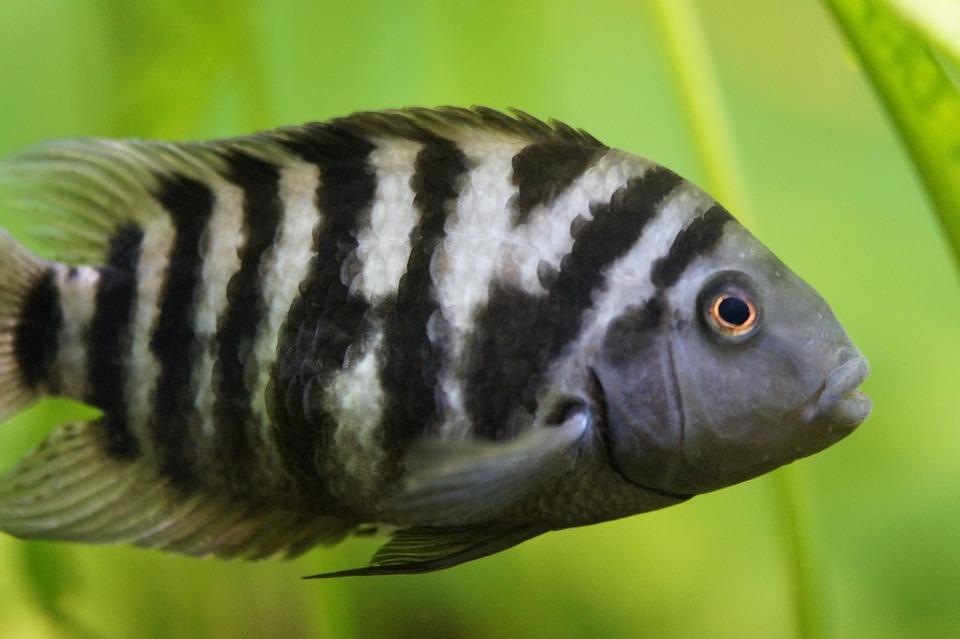 Striped convict fish