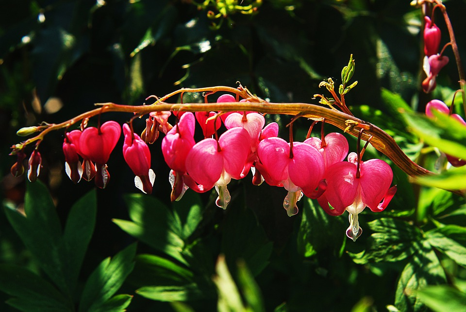free photo bleeding heart, flower  free image on pixabay, Beautiful flower