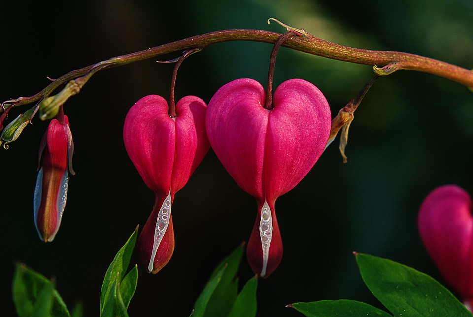 Free Photo Bleeding Heart Flower Free Image On Pixabay