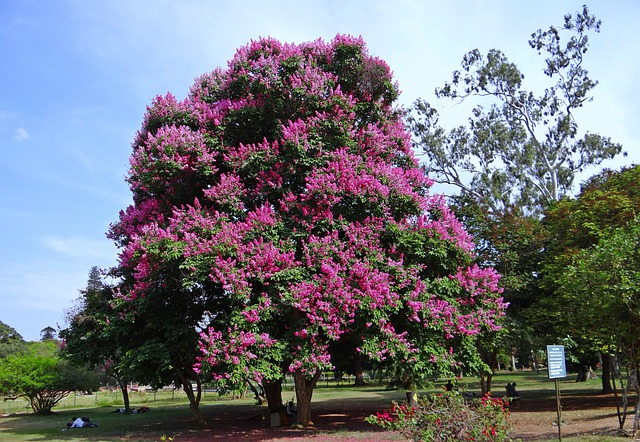 Giant Crape Myrtle Lagerstroemia Free Photo On Pixabay Watermelon Wallpaper Rainbow Find Free HD for Desktop [freshlhys.tk]