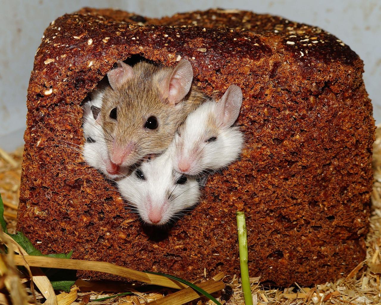 Как отпугнуть мышей в домашних условиях