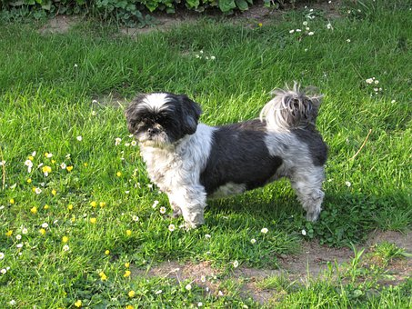 Shih Tzu, Dog, Animal, Shih Tzu
