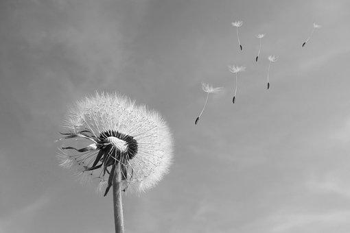 1 000 Kostenlose Pusteblume Und Lowenzahn Bilder Pixabay