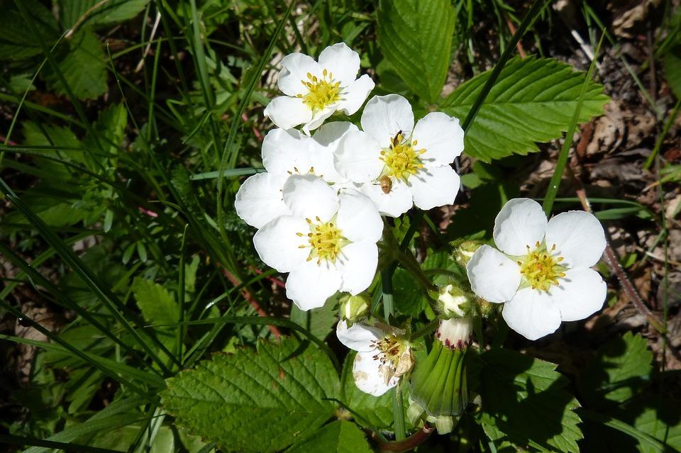 Fleur De Fraisier Photo Gratuite Sur Pixabay