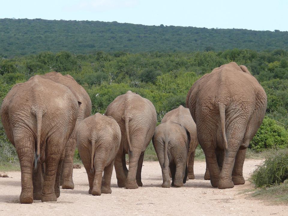 象, 象の群れ, 群れ, サファリ, ナミビア, 象のお尻, 南アフリカ, アッドー