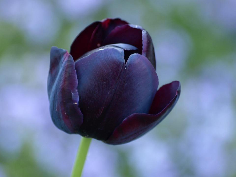 Tulip Hitam Lily Musim Foto Gratis Di Pixabay