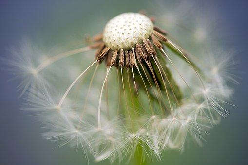 Common Dandelion, Dandelion