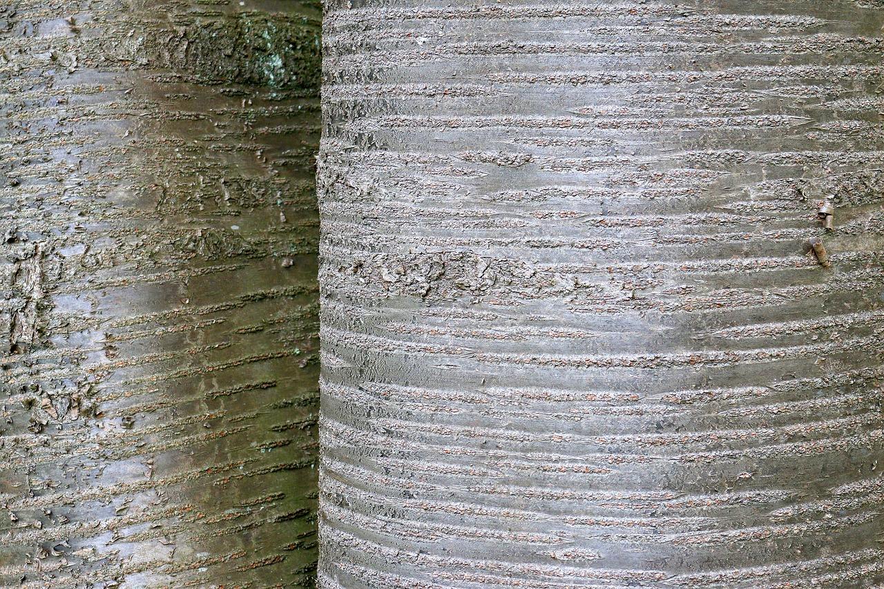 Rinde kirschbaum Aufgeplatzte Baumrinde: