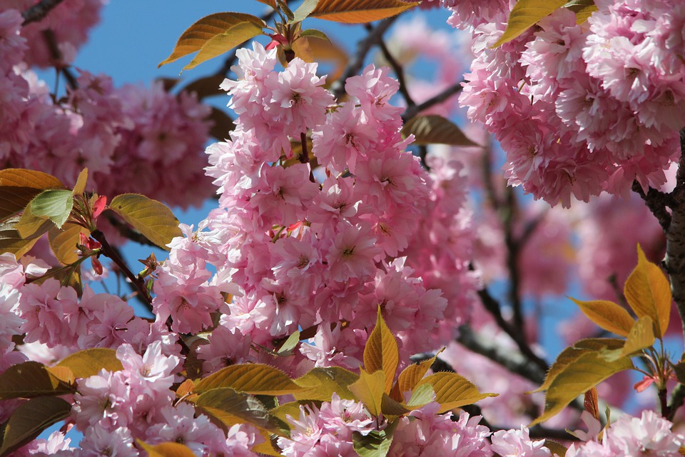 free photo japanese flowering cherry  free image on pixabay, Natural flower