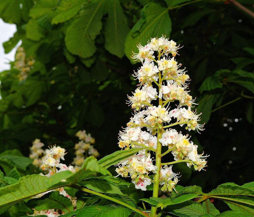 Fleur De Châtaignier Marronnier · Photo gratuite sur Pixabay