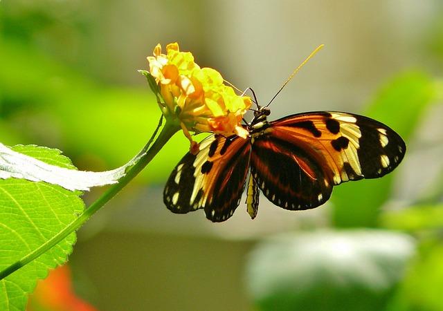 Foto gratis farfalla farfalle animale immagine gratis for Sfondi farfalle gratis
