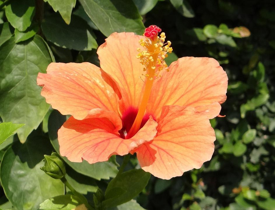 Hibiscus Peach Flower Rosa Free Photo On Pixabay