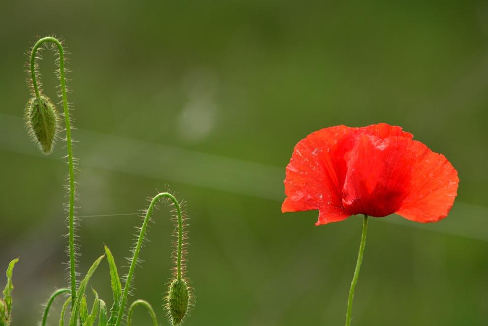 ポピー 花 夏 花のつぼみ 赤