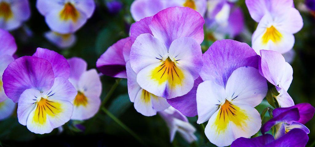 Meer Dan 700 Gratis Afbeeldingen Van Viooltjes En Bloemen