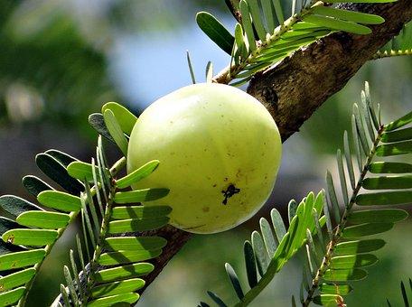 インドのスグリ, Amla, ユカン, 種アスパラガス, Amalika