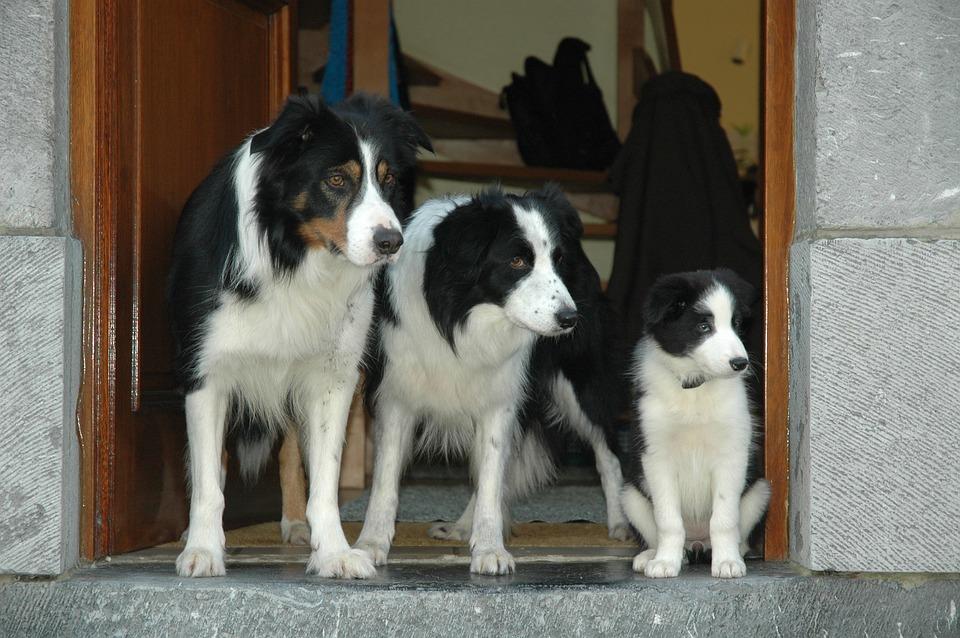 tres Border Collie, Cachorro de tamaños distintos sentados en una puerta