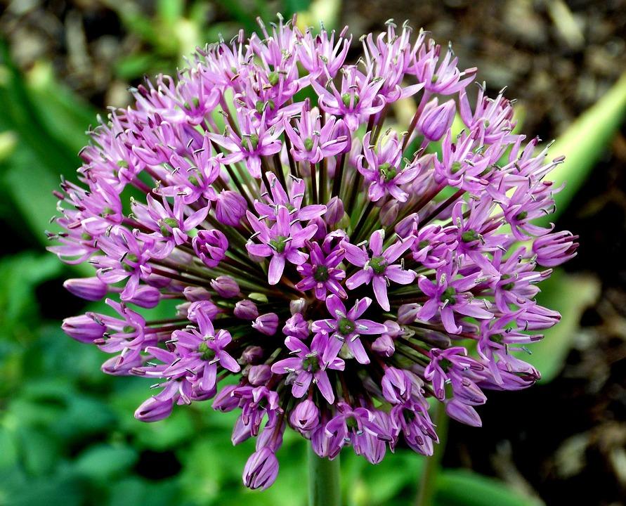 photo gratuite oignon ornemental fleur image gratuite sur pixabay 337504. Black Bedroom Furniture Sets. Home Design Ideas