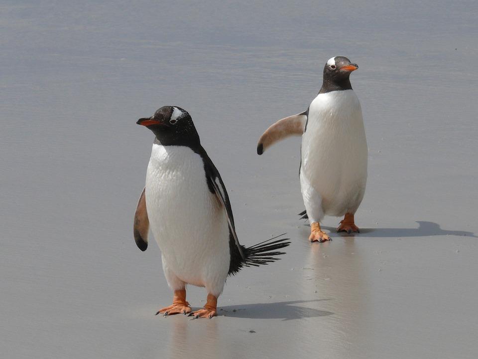 Eselpinguine, Pinguine, Antarktis, Vögel, Wasservögel