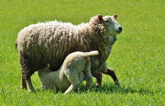 Sheep, Lamb, Lambs, Animals, Nature