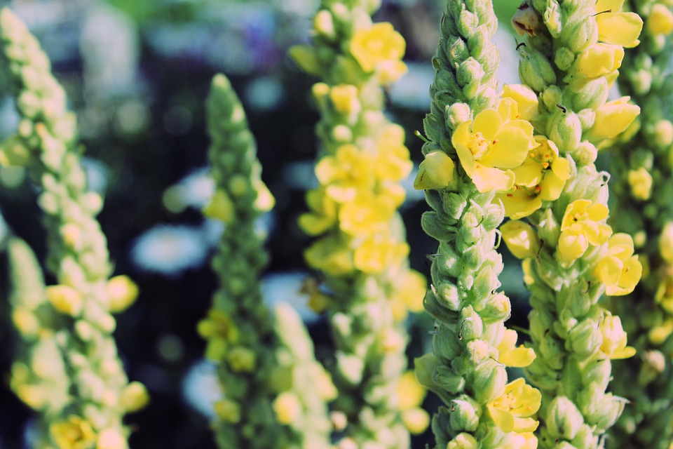 mullein for ear mites