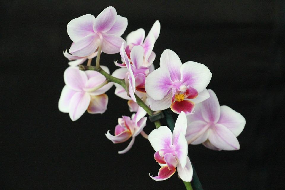 kostenloses foto orchidee bl te blume lila rosa kostenloses bild auf pixabay 339045. Black Bedroom Furniture Sets. Home Design Ideas