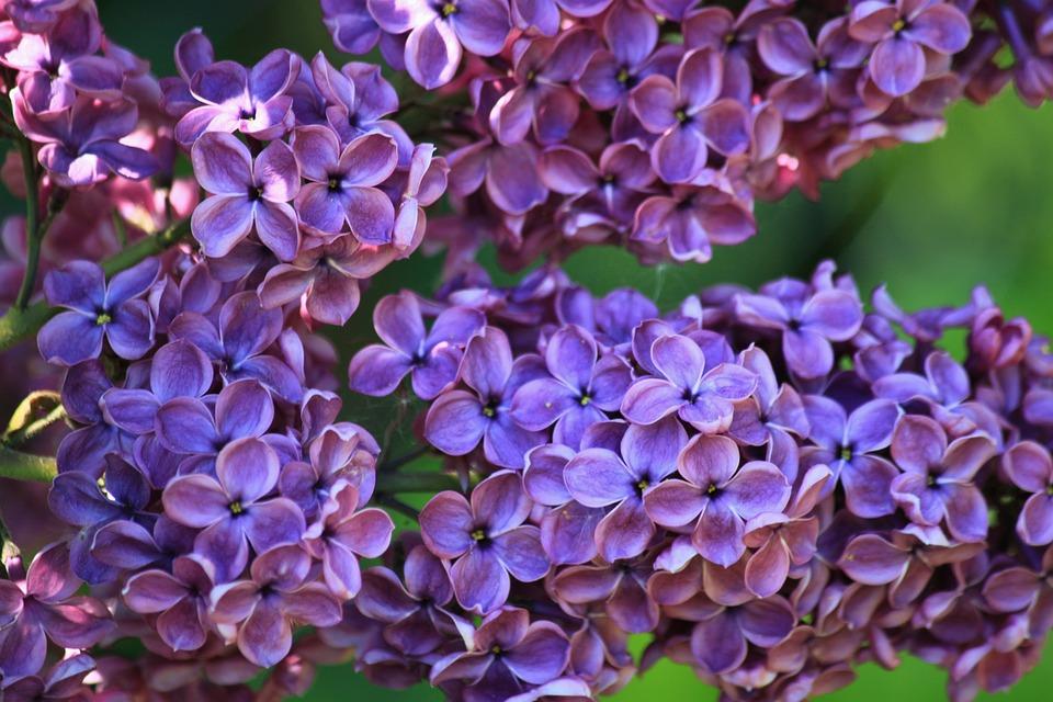 Lilas Buisson De Fleur Lila Photo Gratuite Sur Pixabay