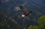 bird, bird of prey