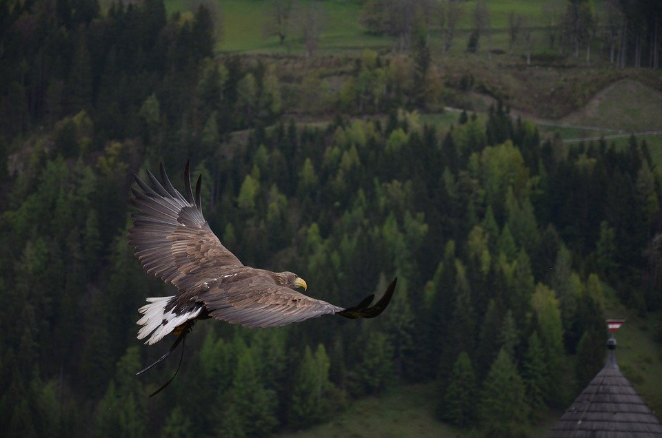 Adler, Vogel, Roofvogel, Raptor, Dierlijke, Vrijheid