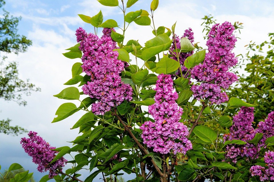 Free photo lilac ornamental shrub flowers free image - Arbustos con flores ...