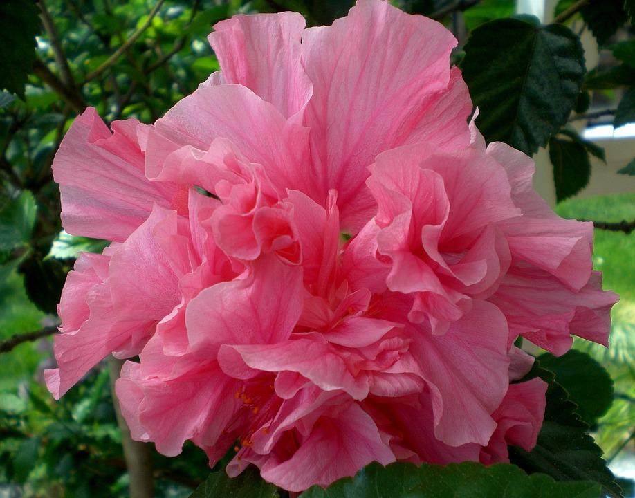 Foto gratis hibisco flor planta hibiscus imagem for Hibiscus arbol