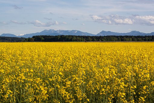 Oilseed Rape, Agricultural Operation