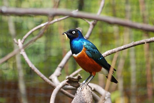 Photo gratuite tourneau oiseau bleu orange image for Oiseau bleu et orange