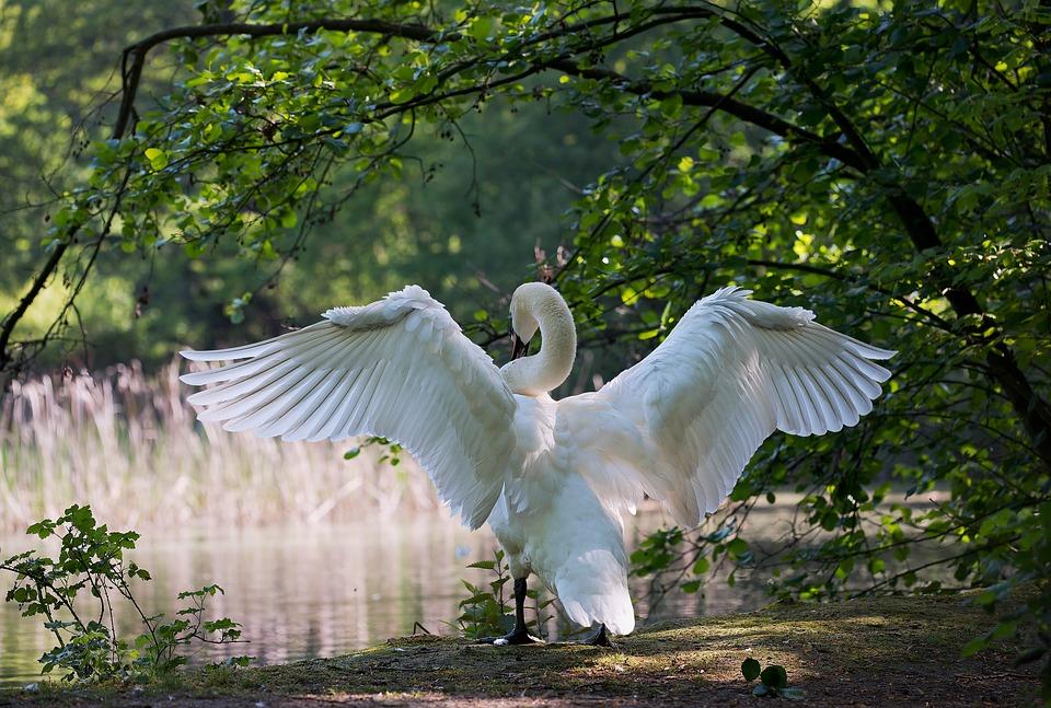White Swan, Bird, Wings, Feathers, Plumage, Ave, Avian