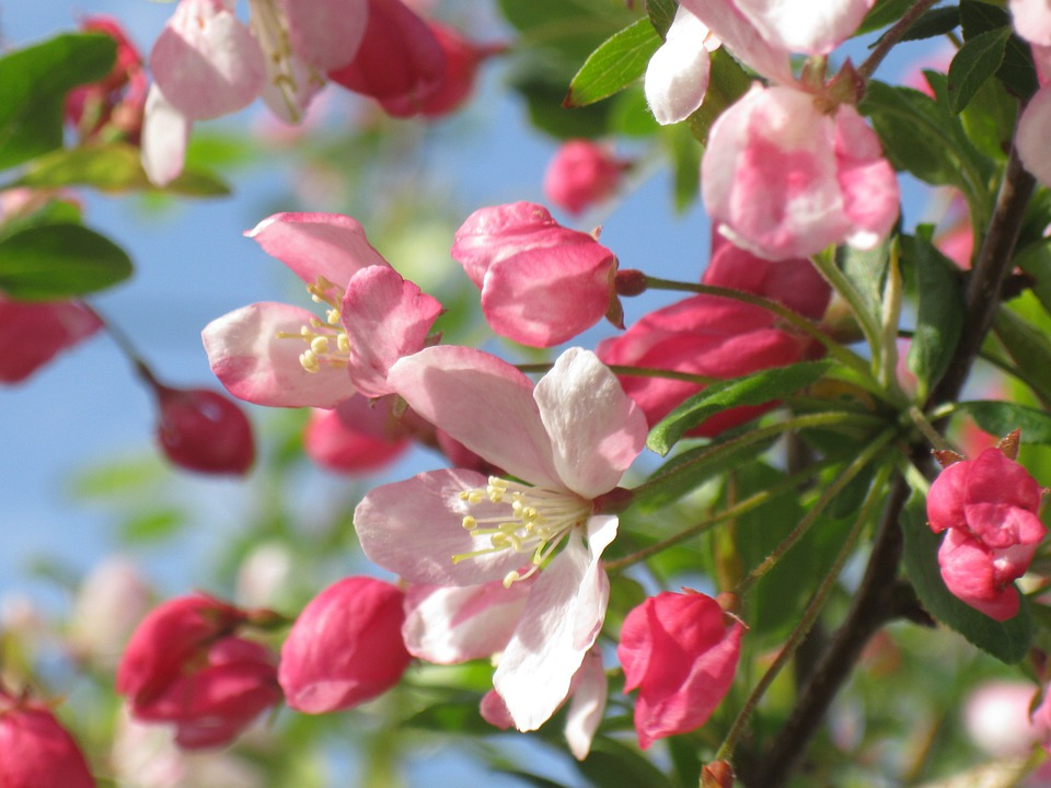 Crab Apple, Rosa, Bloom, Primavera, Fiore, Ramo, Fiori