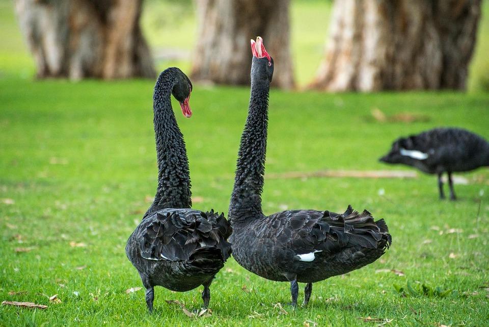 Czarny Łabędź, Łabędź, Gęś, Ptak, Taniec, Para, Czarny