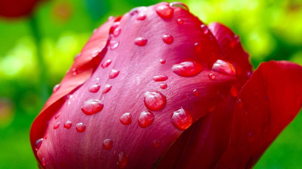 tulip, flower  free images on pixabay, Beautiful flower