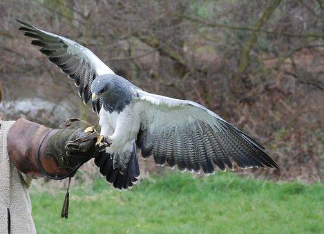 Raptor, Bird, Training, Falconry