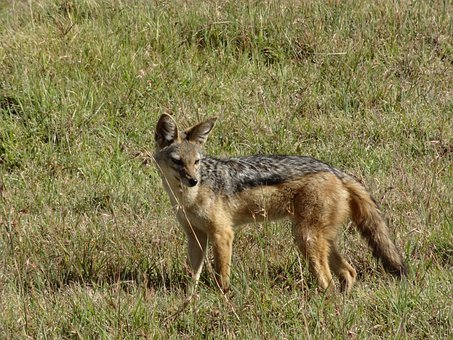Jackal, Savannah, Hunting, Jackal