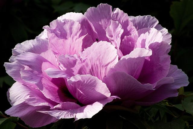 free photo  peony  flower  nature  flora - free image on pixabay