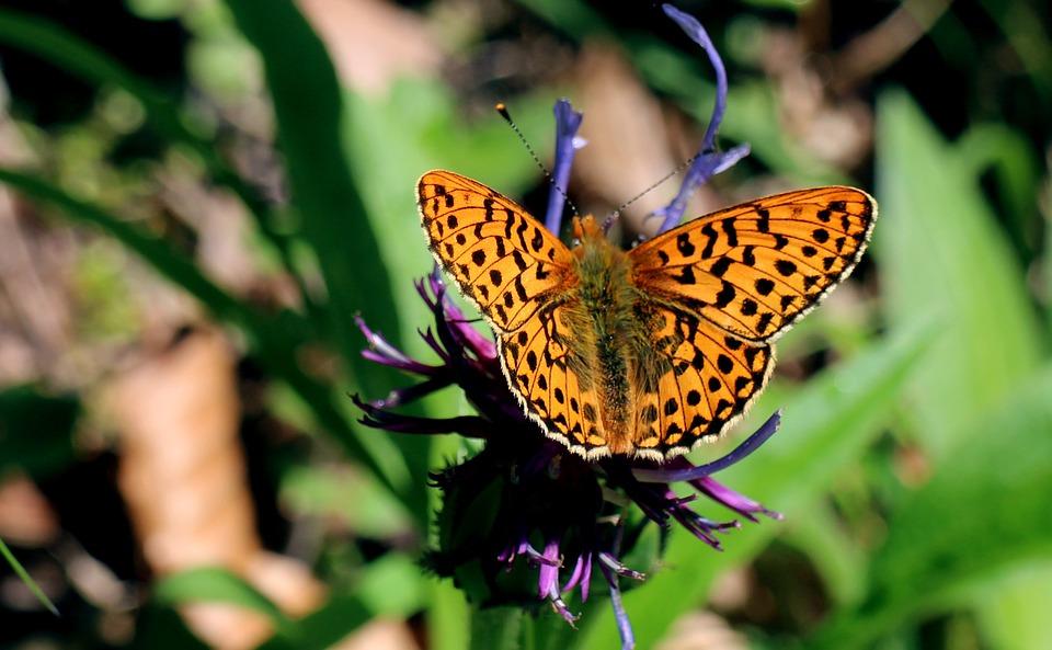 Sumpfwiesen-Perlmuttfalter, Boloria Selene