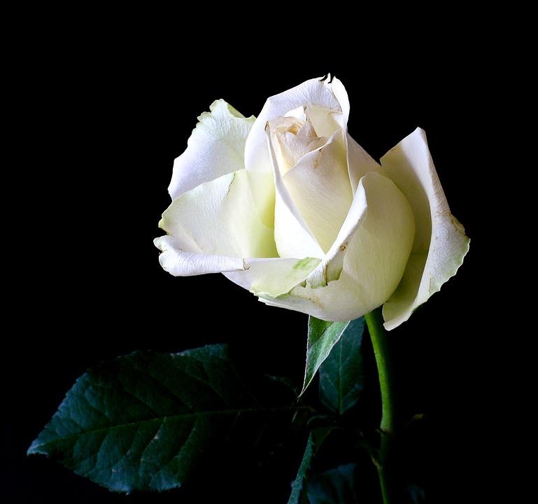 Rose, Plant, Tender, Nature, Rose Bloom, Flower