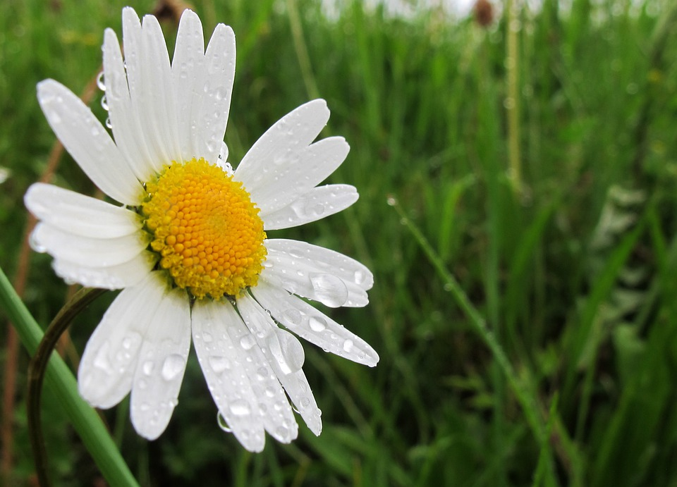 Free photo marguerite spring flower free image on pixabay 342614 - Flowers that bloom from spring to fall ...