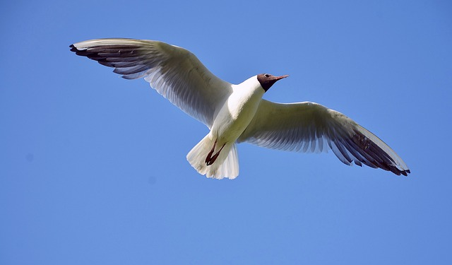 free photo  seagull  sea  gull  bird  white - free image on pixabay