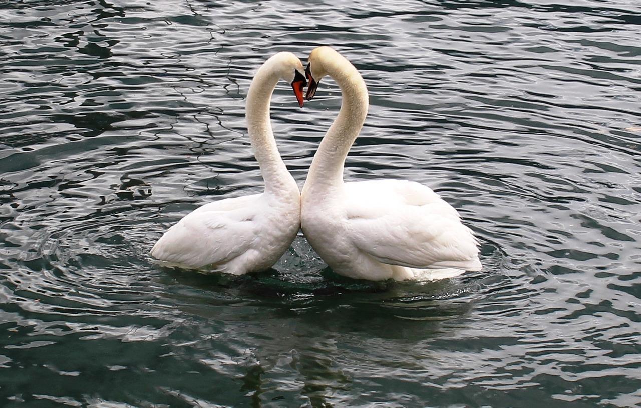 лебеди обнимаются в виде сердца фото вечером будет финальная